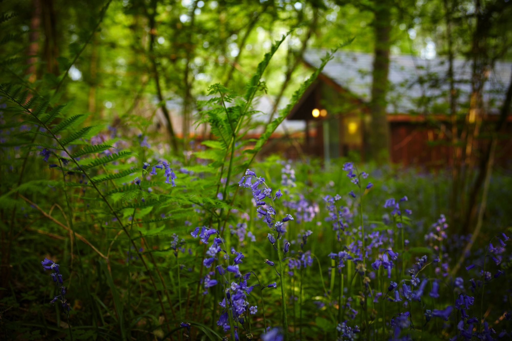 Blog-Forest-bluebells.jpg